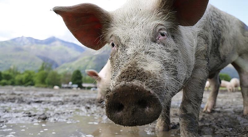 swinska-grypa