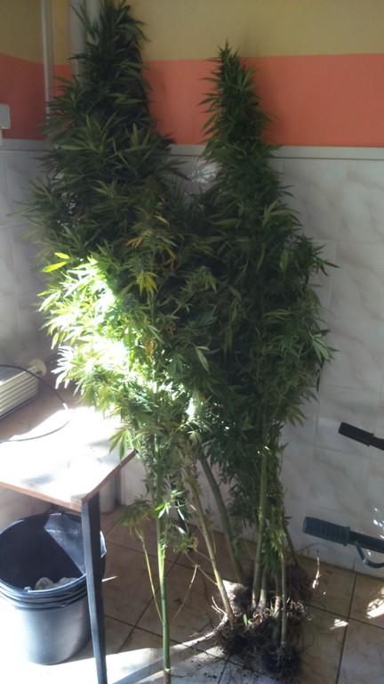 marihuana 1 1