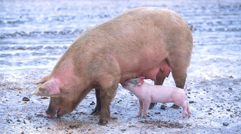 1280px-Sow_with_piglet