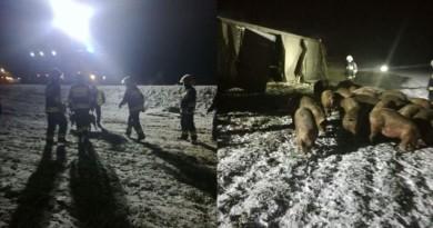 ucieczka świń z transportu