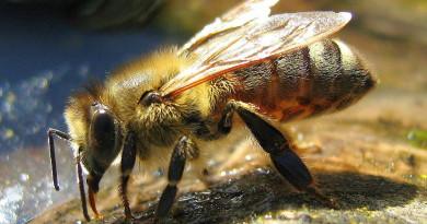 pszczoła wikipedia
